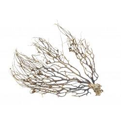 Korzeń Gorgonia 15-25 cm